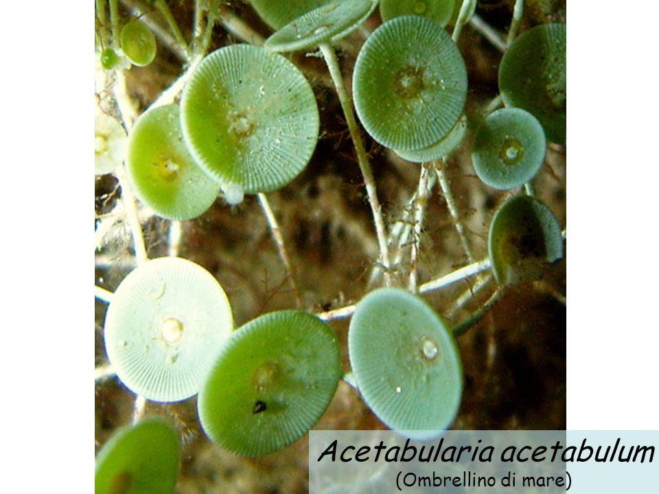 Acetabularia acetabulum