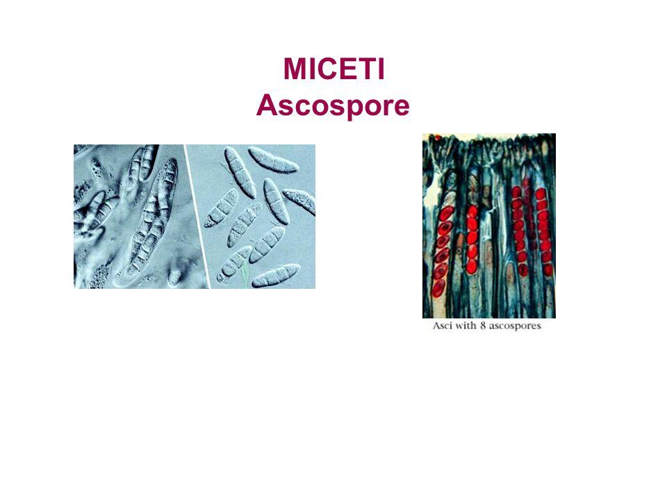 MICETI Ascospore