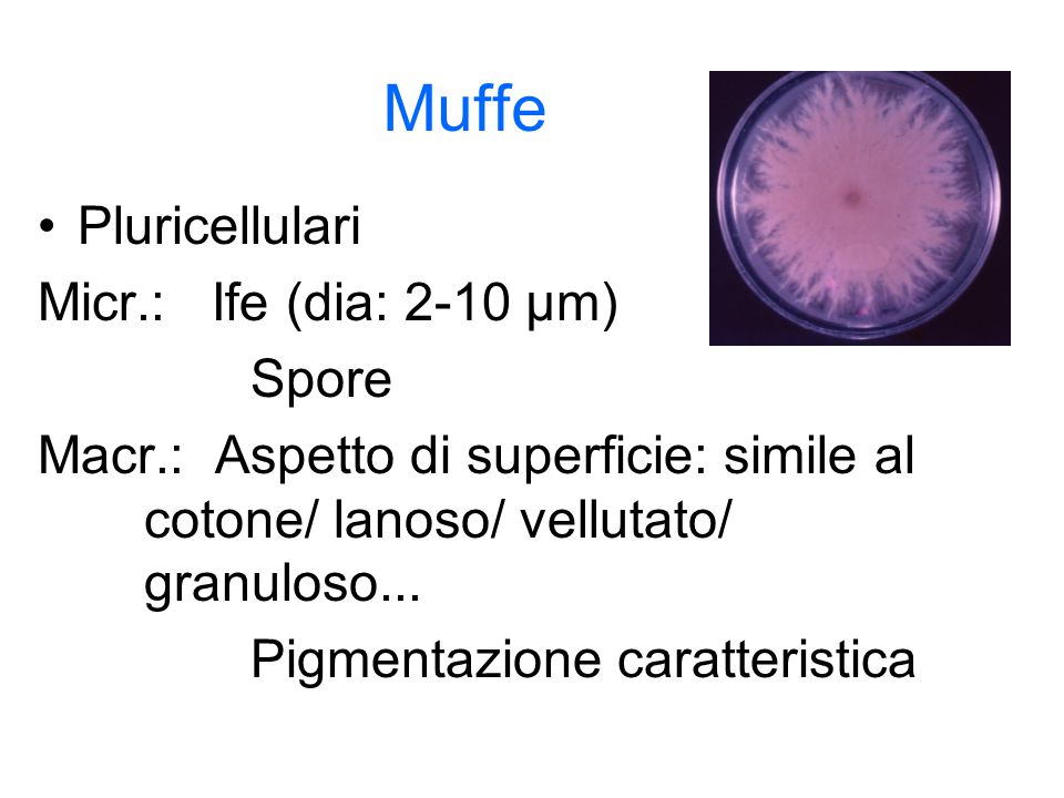 Muffe Pluricellulari Micr.: Ife (dia: 2-10 µm) Spore
