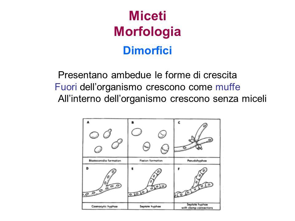 Miceti Morfologia Dimorfici Presentano ambedue le forme di crescita
