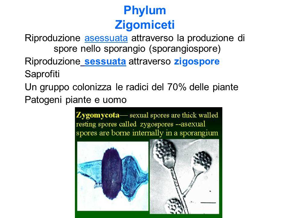 Phylum Zigomiceti Riproduzione asessuata attraverso la produzione di spore nello sporangio (sporangiospore)