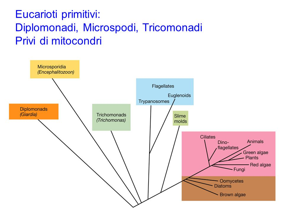 Diplomonadi, Microspodi, Tricomonadi Privi di mitocondri