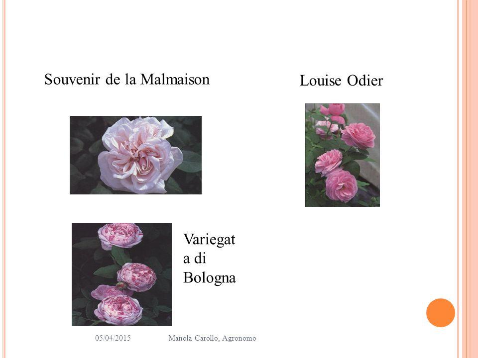 Souvenir de la Malmaison Louise Odier