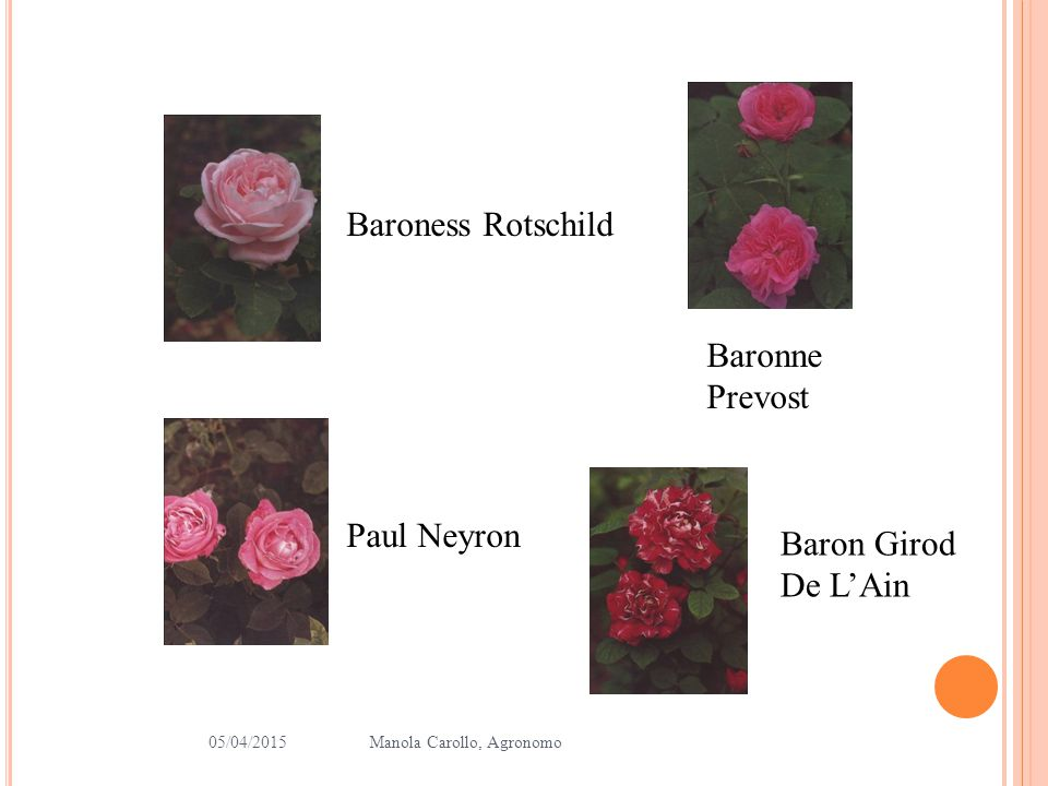 Baroness Rotschild Baronne Prevost Paul Neyron Baron Girod De L'Ain