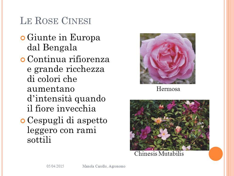 Le Rose Cinesi Giunte in Europa dal Bengala