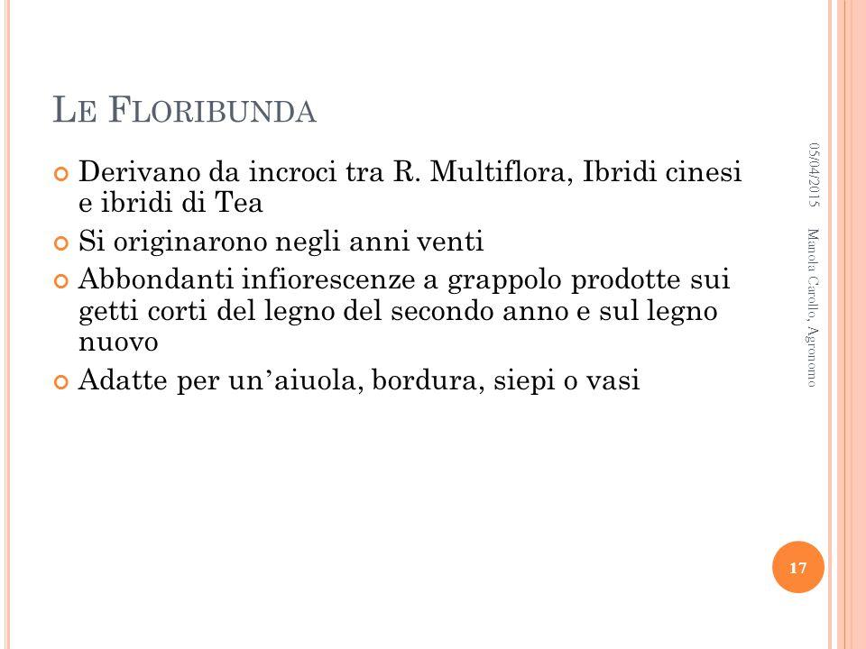 Le Floribunda 10/04/2017. Derivano da incroci tra R. Multiflora, Ibridi cinesi e ibridi di Tea. Si originarono negli anni venti.
