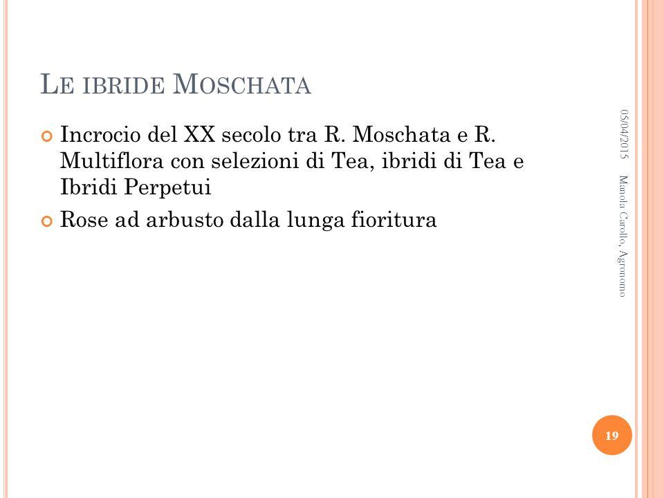 Le ibride Moschata 10/04/2017. Incrocio del XX secolo tra R. Moschata e R. Multiflora con selezioni di Tea, ibridi di Tea e Ibridi Perpetui.