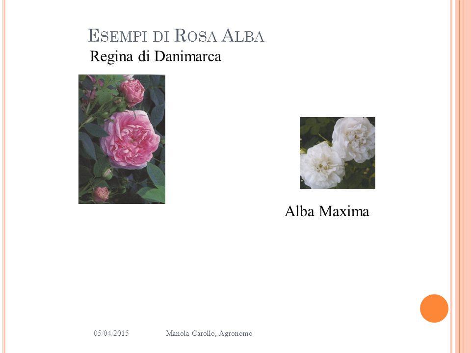 Esempi di Rosa Alba Regina di Danimarca Alba Maxima 10/04/2017