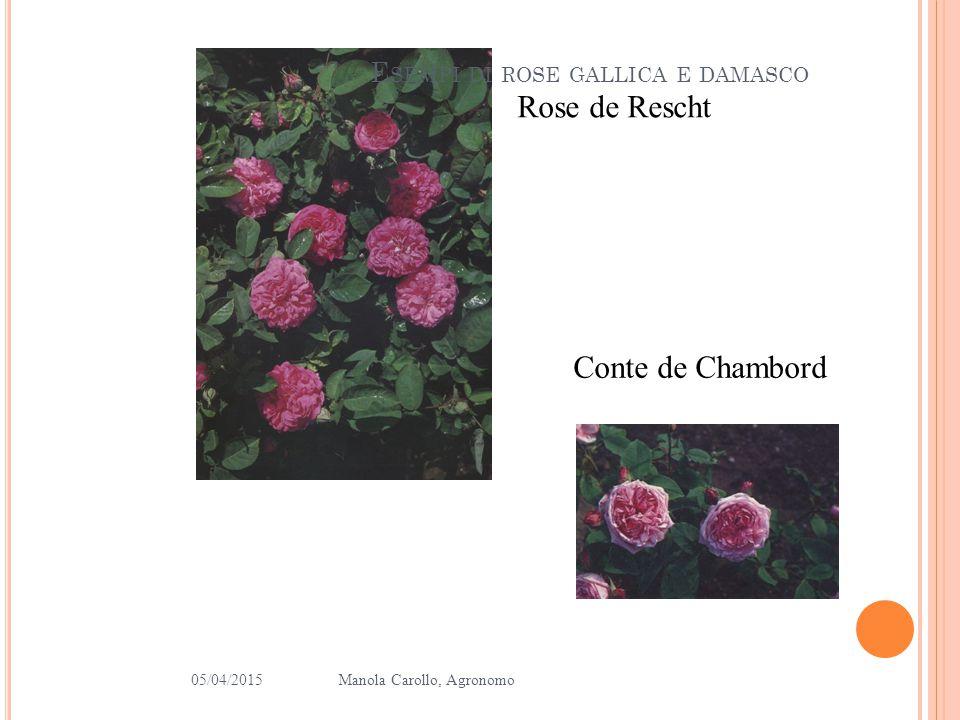 Esempi di rose gallica e damasco