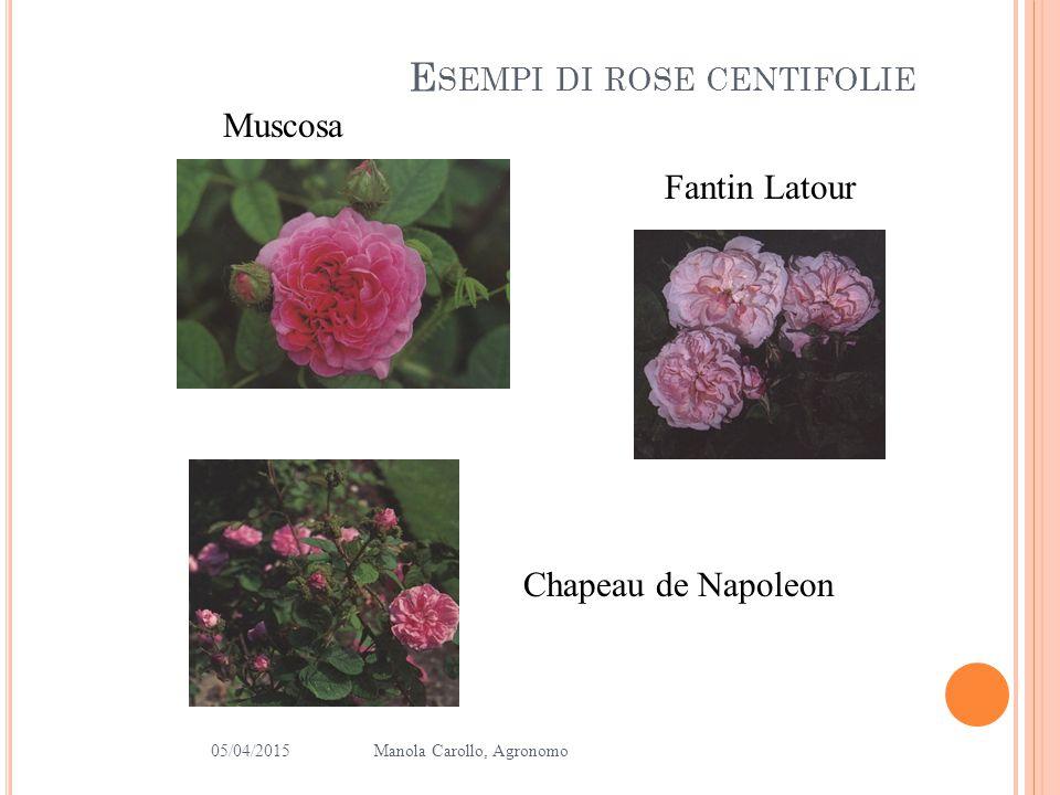 Esempi di rose centifolie