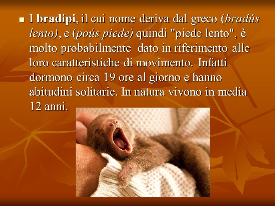 I bradipi, il cui nome deriva dal greco (bradús lento), e (poús piede) quindi piede lento , è molto probabilmente dato in riferimento alle loro caratteristiche di movimento.