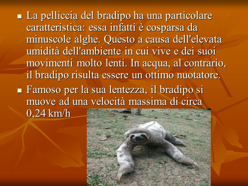 La pelliccia del bradipo ha una particolare caratteristica: essa infatti è cosparsa da minuscole alghe. Questo a causa dell elevata umidità dell ambiente in cui vive e dei suoi movimenti molto lenti. In acqua, al contrario, il bradipo risulta essere un ottimo nuotatore.