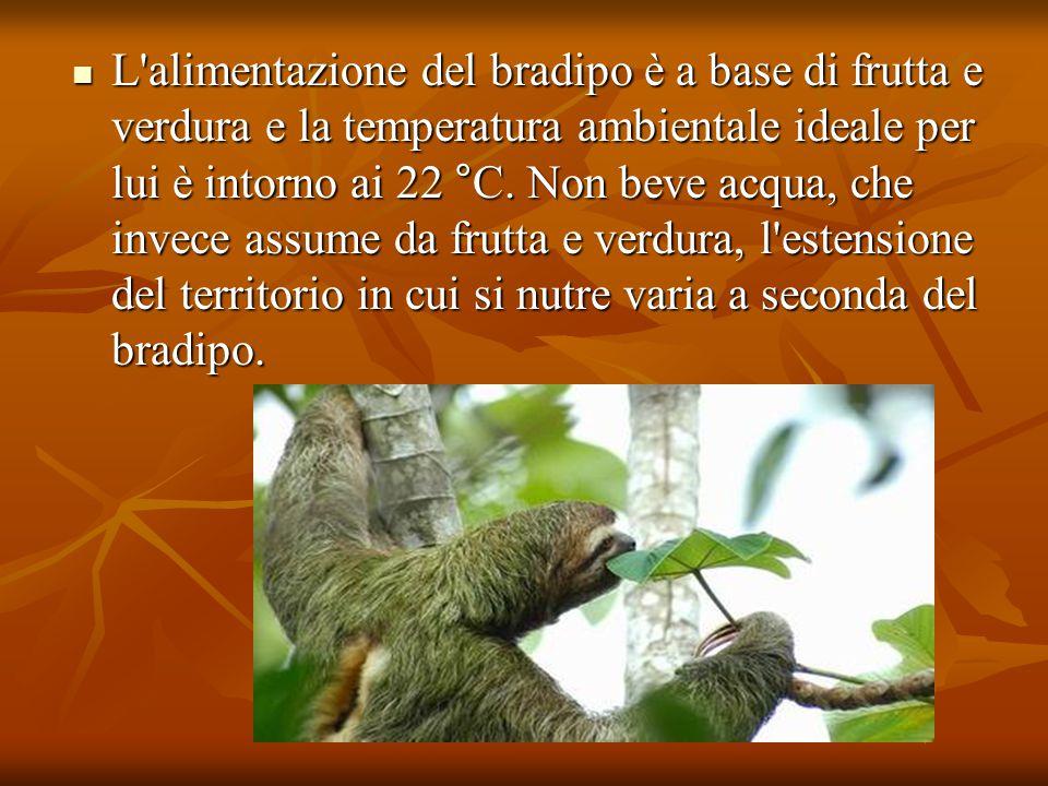 L alimentazione del bradipo è a base di frutta e verdura e la temperatura ambientale ideale per lui è intorno ai 22 °C.