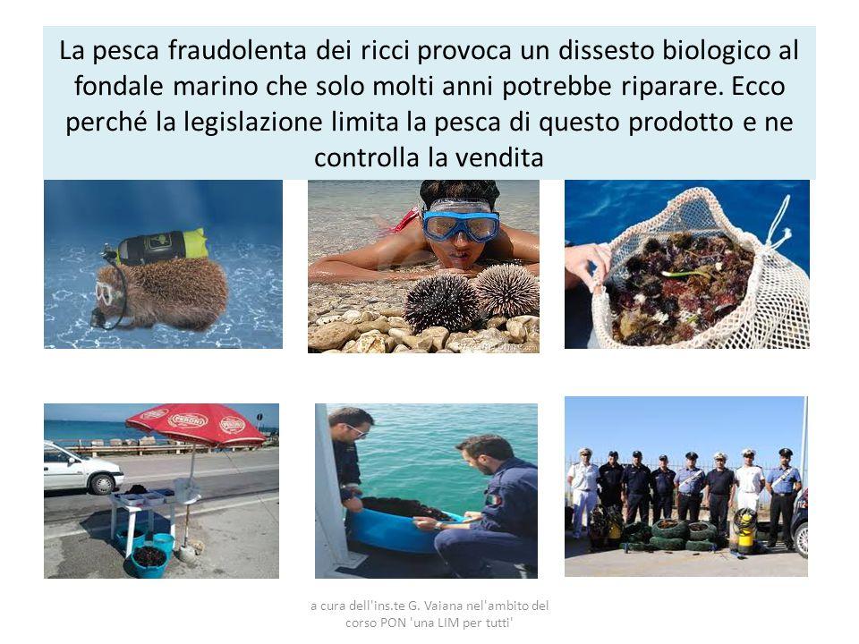 La pesca fraudolenta dei ricci provoca un dissesto biologico al fondale marino che solo molti anni potrebbe riparare. Ecco perché la legislazione limita la pesca di questo prodotto e ne controlla la vendita