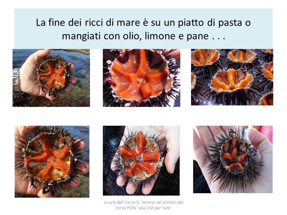 La fine dei ricci di mare è su un piatto di pasta o mangiati con olio, limone e pane . . .
