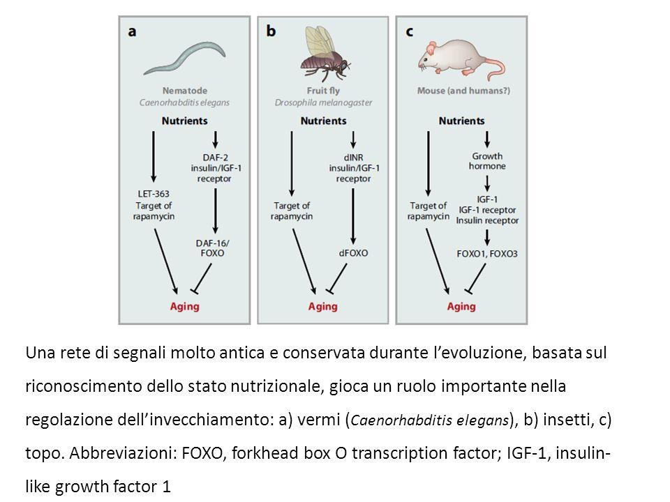 Una rete di segnali molto antica e conservata durante l'evoluzione, basata sul riconoscimento dello stato nutrizionale, gioca un ruolo importante nella regolazione dell'invecchiamento: a) vermi (Caenorhabditis elegans), b) insetti, c) topo.