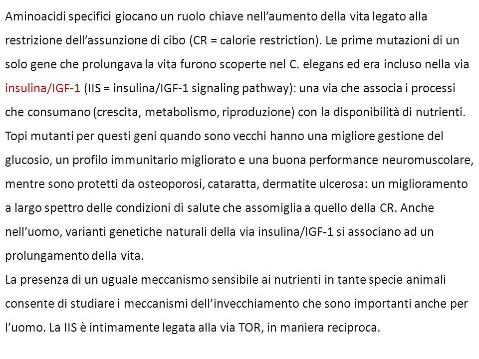 Aminoacidi specifici giocano un ruolo chiave nell'aumento della vita legato alla restrizione dell'assunzione di cibo (CR = calorie restriction). Le prime mutazioni di un solo gene che prolungava la vita furono scoperte nel C. elegans ed era incluso nella via insulina/IGF-1 (IIS = insulina/IGF-1 signaling pathway): una via che associa i processi che consumano (crescita, metabolismo, riproduzione) con la disponibilità di nutrienti. Topi mutanti per questi geni quando sono vecchi hanno una migliore gestione del glucosio, un profilo immunitario migliorato e una buona performance neuromuscolare, mentre sono protetti da osteoporosi, cataratta, dermatite ulcerosa: un miglioramento a largo spettro delle condizioni di salute che assomiglia a quello della CR. Anche nell'uomo, varianti genetiche naturali della via insulina/IGF-1 si associano ad un prolungamento della vita.