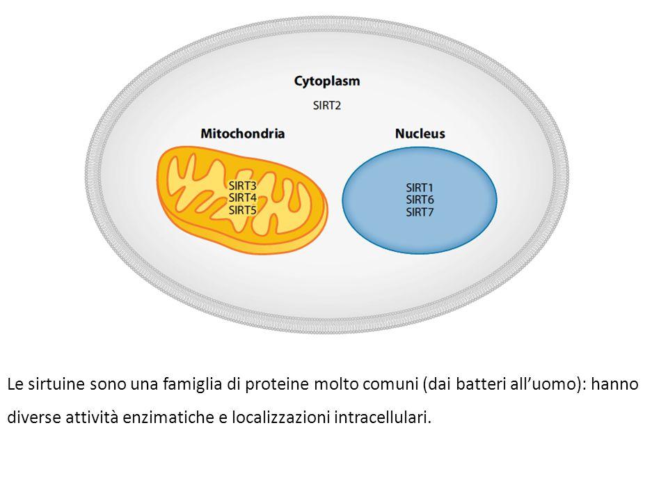 Le sirtuine sono una famiglia di proteine molto comuni (dai batteri all'uomo): hanno diverse attività enzimatiche e localizzazioni intracellulari.