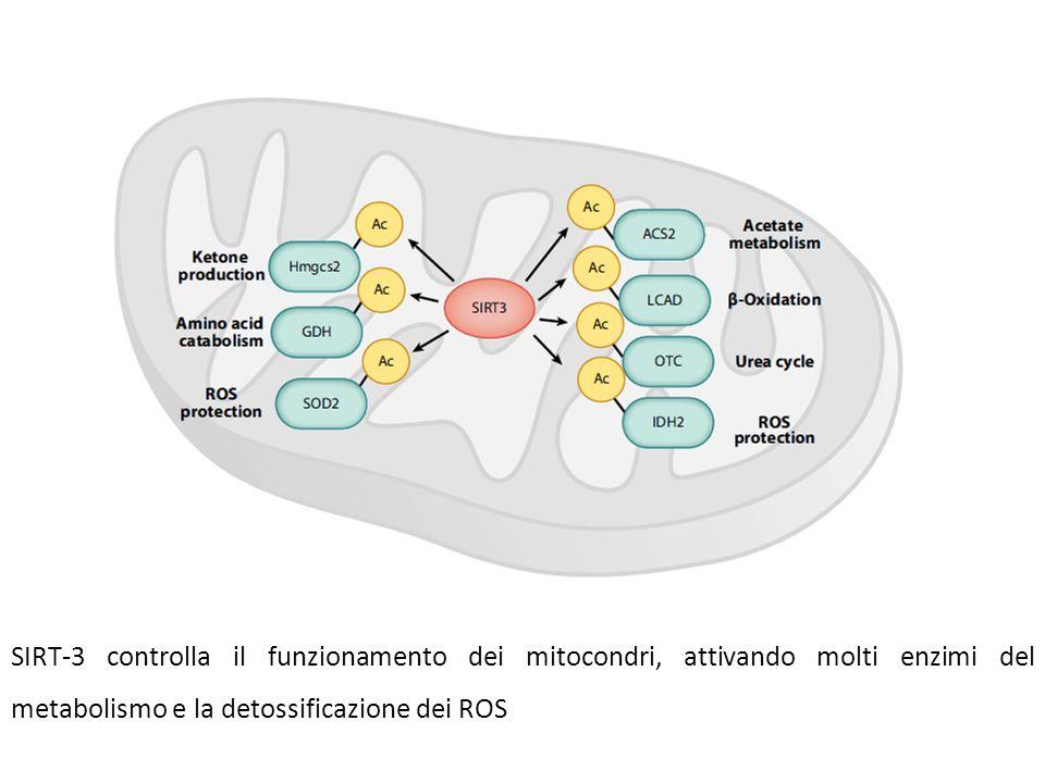 SIRT-3 controlla il funzionamento dei mitocondri, attivando molti enzimi del metabolismo e la detossificazione dei ROS