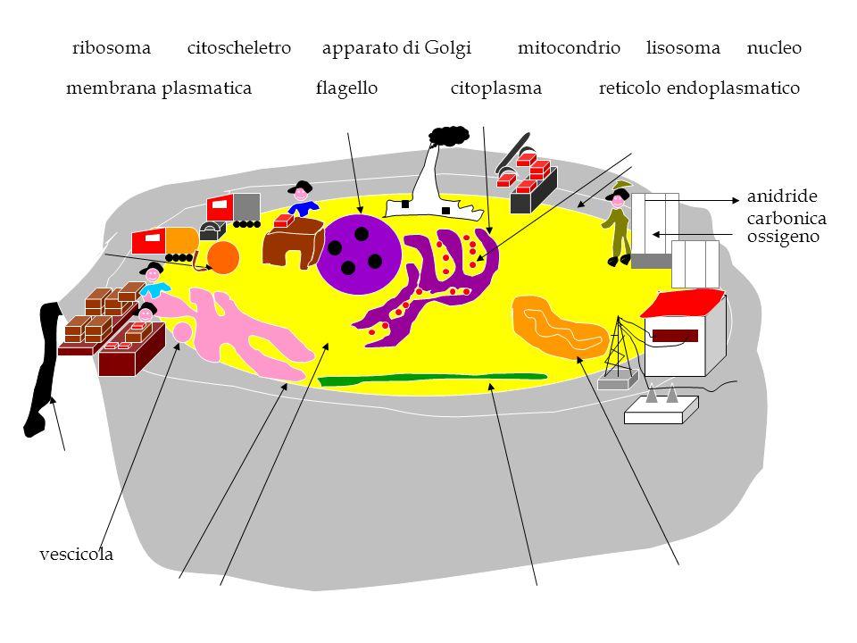ribosoma citoscheletro. apparato di Golgi. mitocondrio. lisosoma. nucleo. membrana plasmatica.