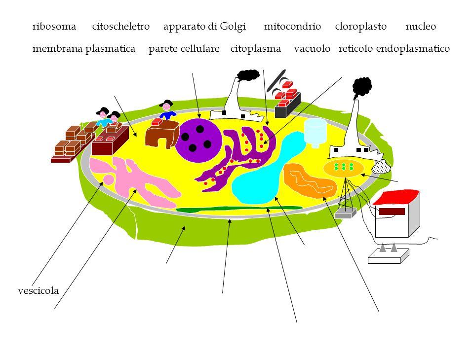 ribosoma citoscheletro. apparato di Golgi. mitocondrio. cloroplasto. nucleo. membrana plasmatica.