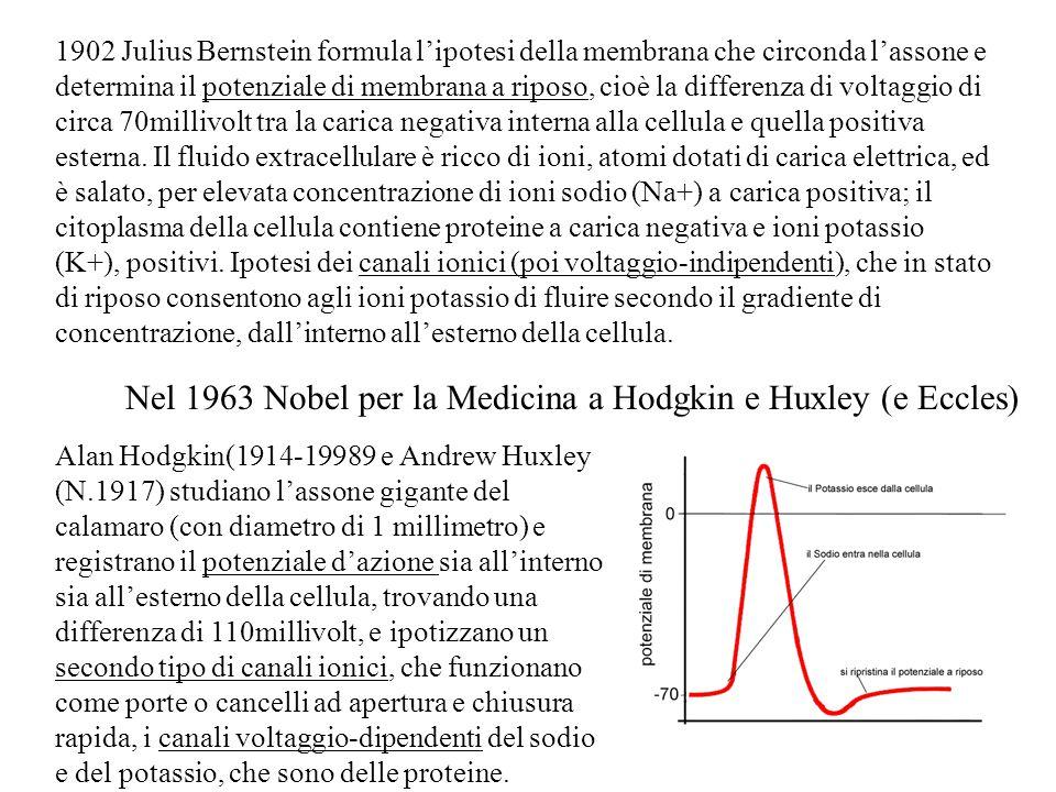 Nel 1963 Nobel per la Medicina a Hodgkin e Huxley (e Eccles)