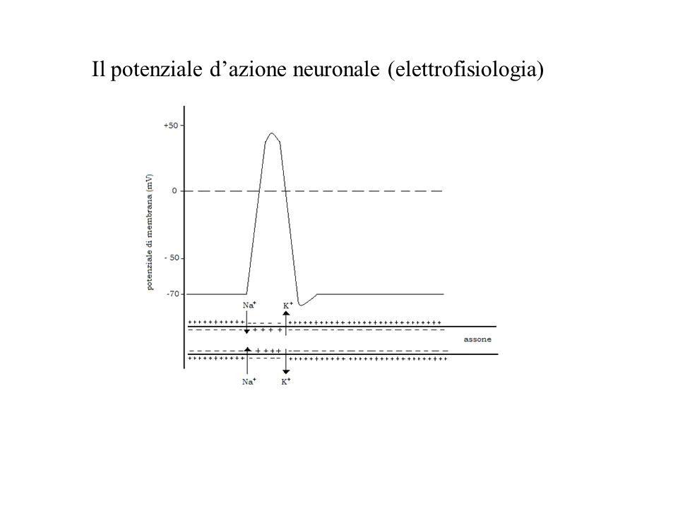 Il potenziale d'azione neuronale (elettrofisiologia)