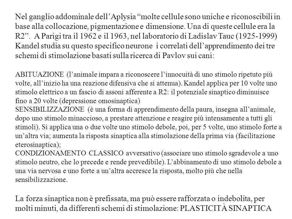 Nel ganglio addominale dell'Aplysia molte cellule sono uniche e riconoscibili in base alla collocazione, pigmentazione e dimensione. Una di queste cellule era la R2 . A Parigi tra il 1962 e il 1963, nel laboratorio di Ladislav Tauc (1925-1999) Kandel studia su questo specifico neurone i correlati dell'apprendimento dei tre schemi di stimolazione basati sulla ricerca di Pavlov sui cani: