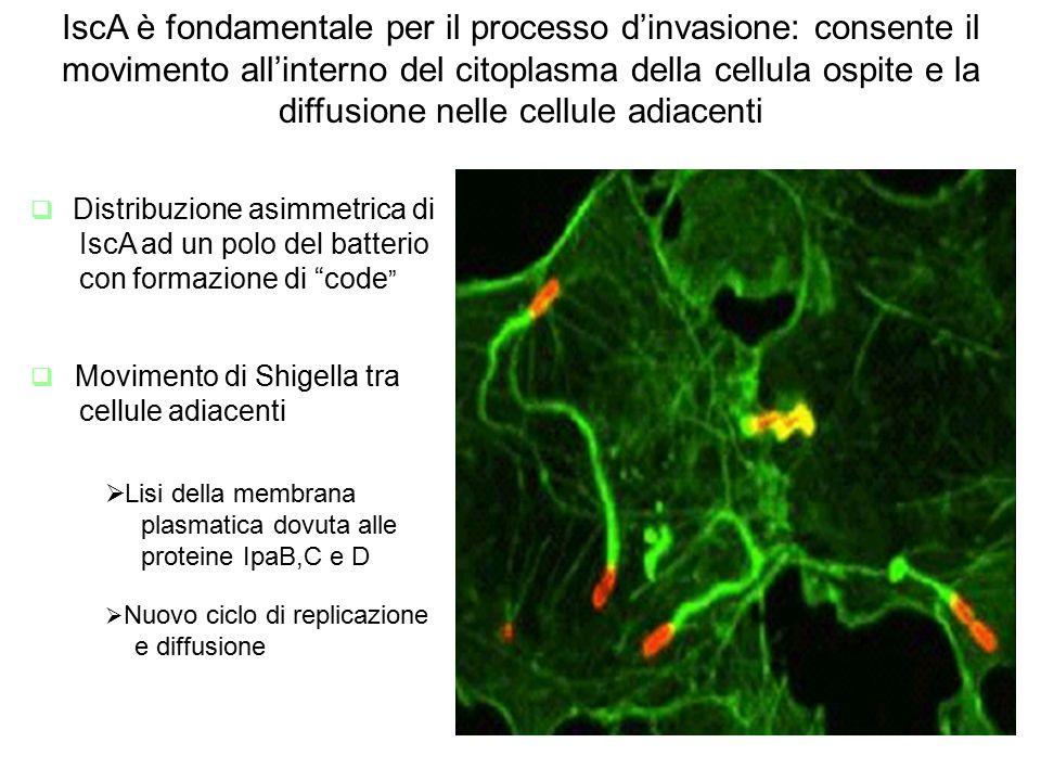IscA è fondamentale per il processo d'invasione: consente il movimento all'interno del citoplasma della cellula ospite e la diffusione nelle cellule adiacenti