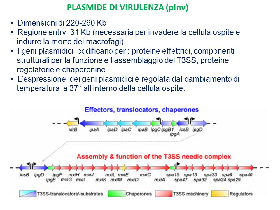PLASMIDE DI VIRULENZA (pInv)