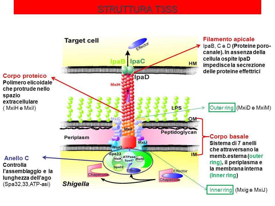 STRUTTURA T3SS Filamento apicale Corpo proteico Corpo basale Anello C