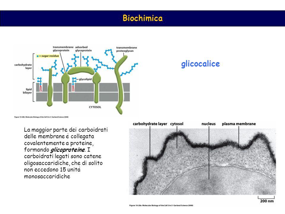 glicocalice