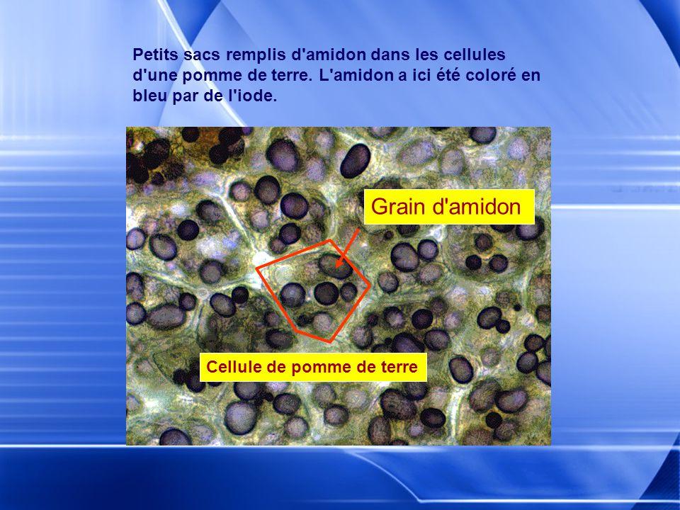 Petits sacs remplis d amidon dans les cellules d une pomme de terre