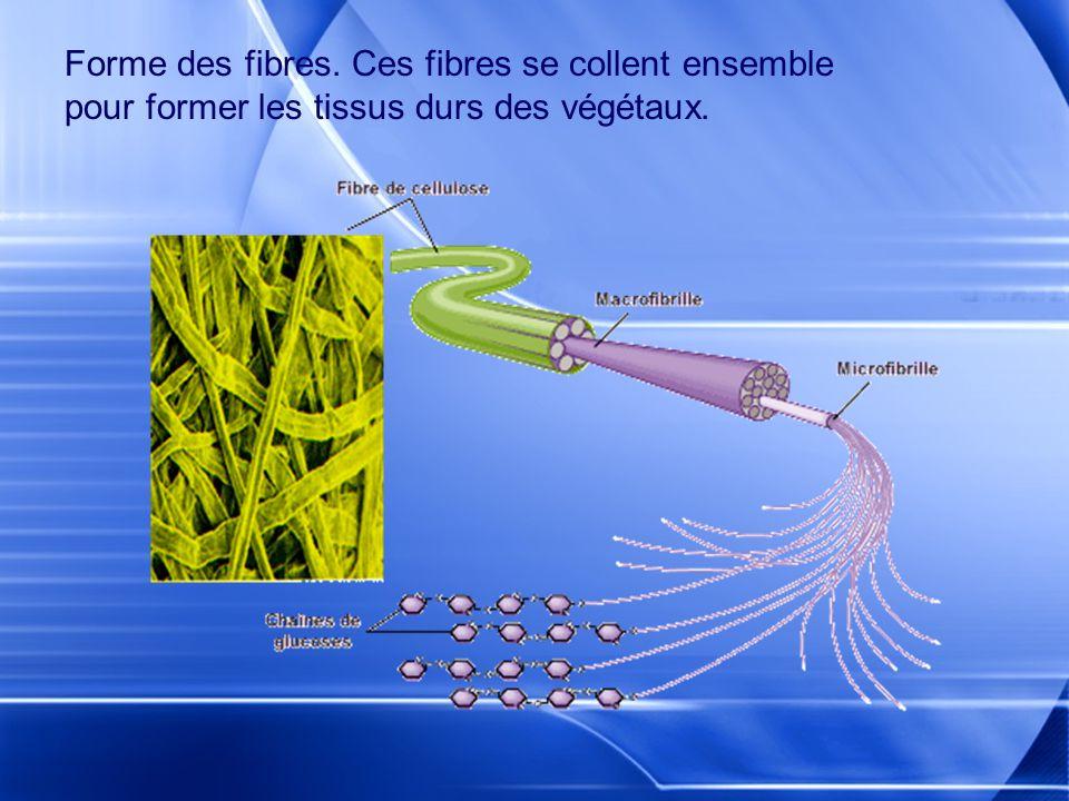 Forme des fibres. Ces fibres se collent ensemble pour former les tissus durs des végétaux.