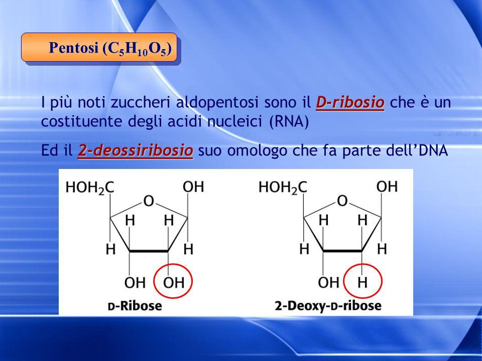 Pentosi (C5H10O5) I più noti zuccheri aldopentosi sono il D-ribosio che è un costituente degli acidi nucleici (RNA)