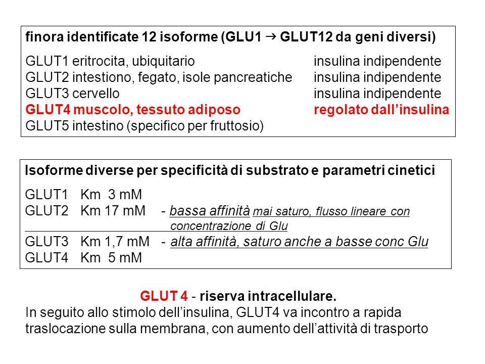 GLUT 4 - riserva intracellulare.