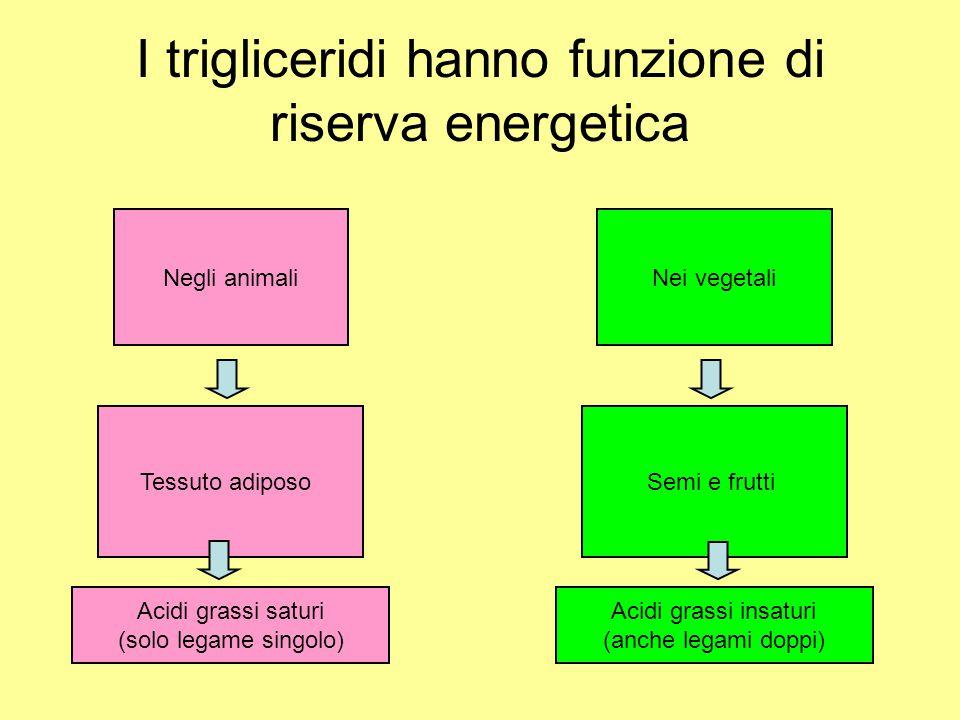 I trigliceridi hanno funzione di riserva energetica