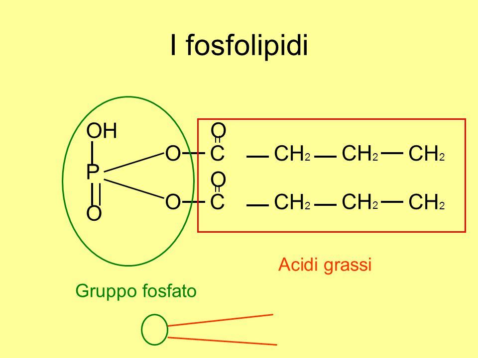 I fosfolipidi OH O C CH2 O P O C CH2 O O Acidi grassi Gruppo fosfato