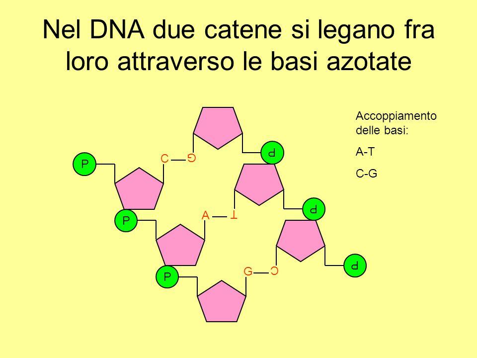 Nel DNA due catene si legano fra loro attraverso le basi azotate