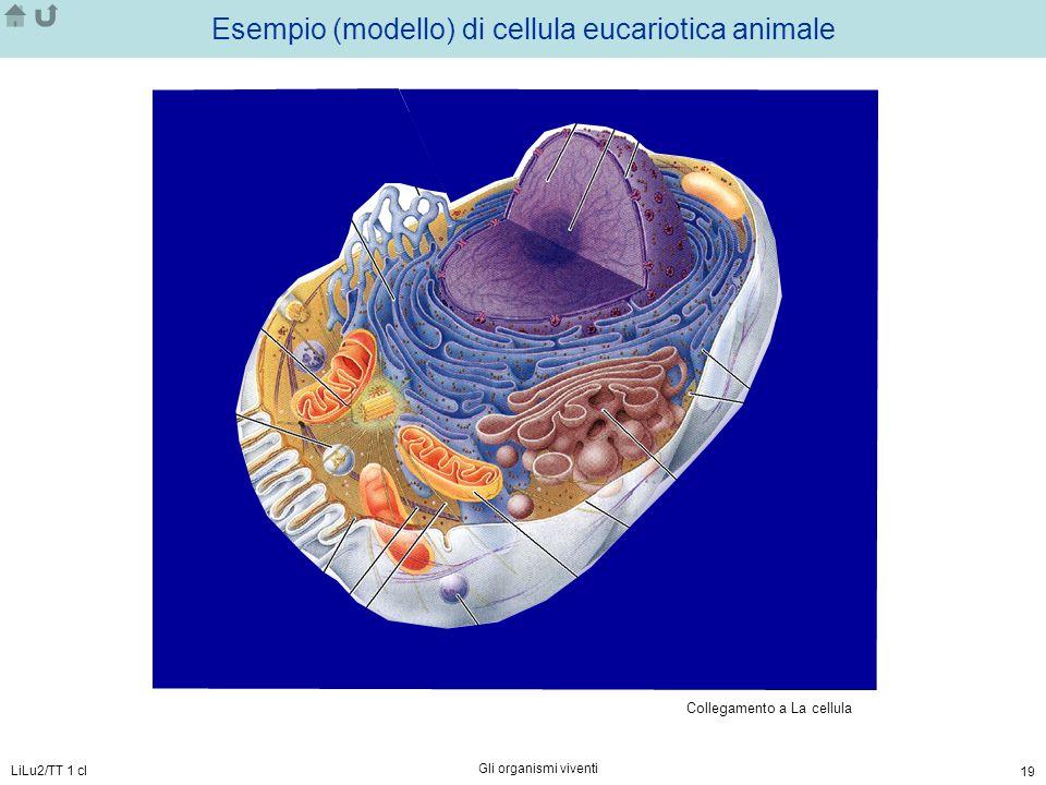 Esempio (modello) di cellula eucariotica animale