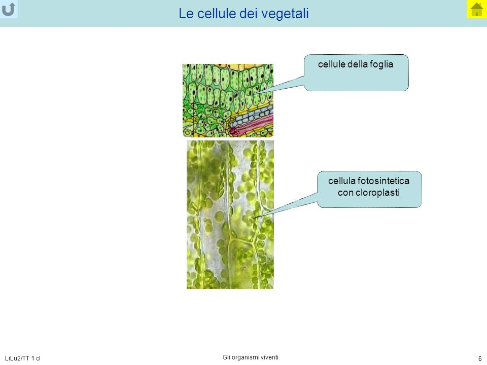 Le cellule dei vegetali