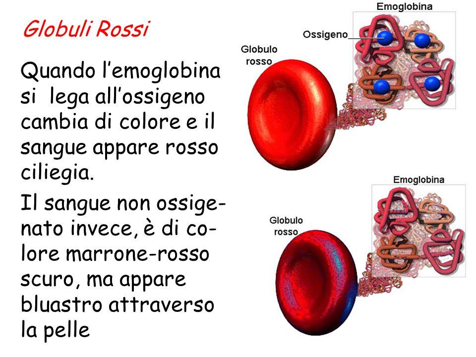 Globuli Rossi Quando l'emoglobina si lega all'ossigeno cambia di colore e il sangue appare rosso ciliegia.