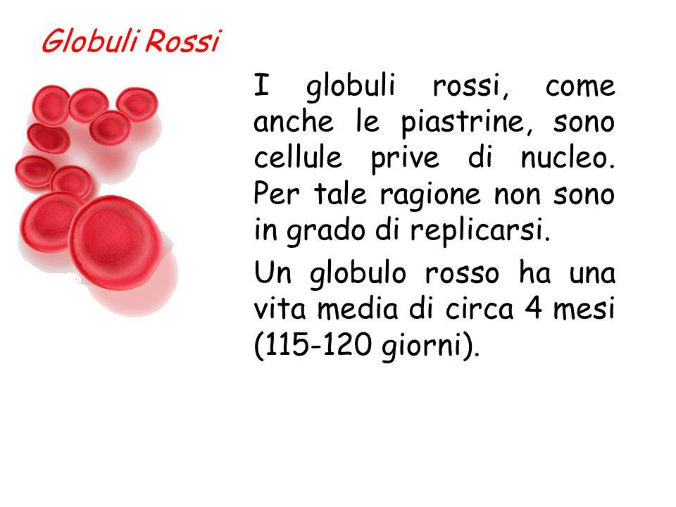 Globuli Rossi I globuli rossi, come anche le piastrine, sono cellule prive di nucleo. Per tale ragione non sono in grado di replicarsi.