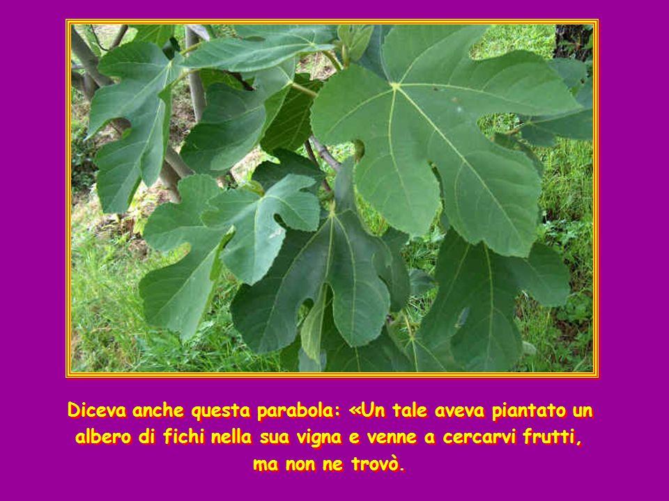 Diceva anche questa parabola: «Un tale aveva piantato un albero di fichi nella sua vigna e venne a cercarvi frutti, ma non ne trovò.