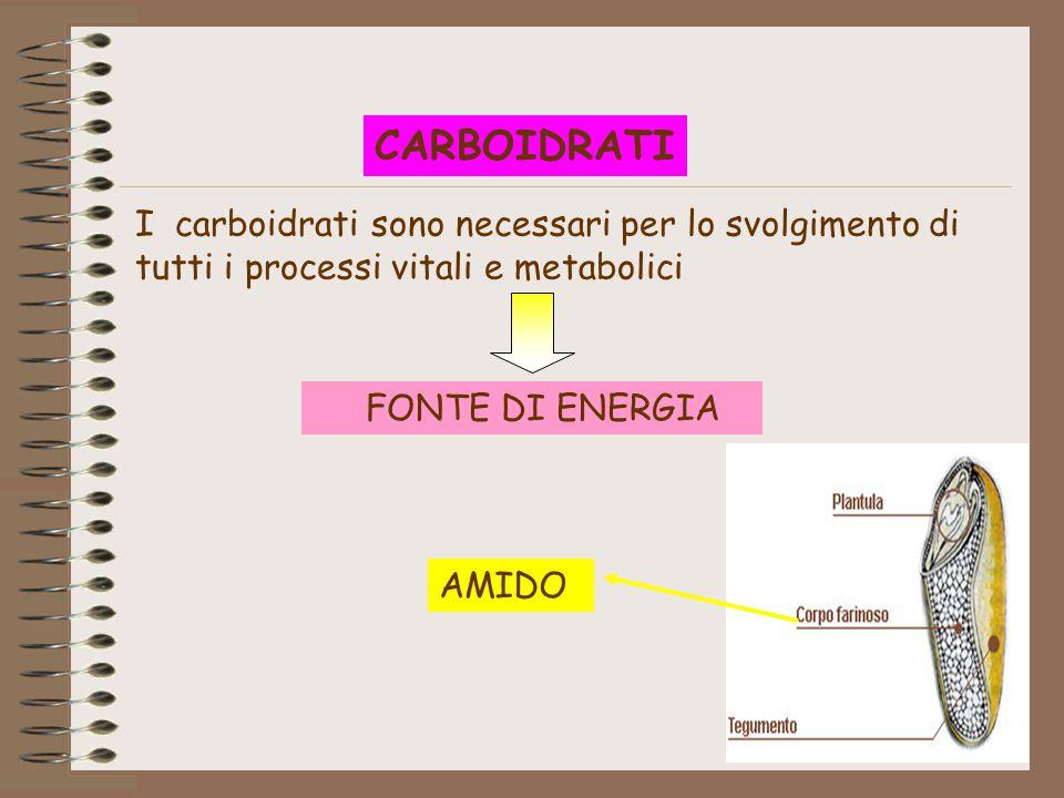 CARBOIDRATI I carboidrati sono necessari per lo svolgimento di tutti i processi vitali e metabolici.