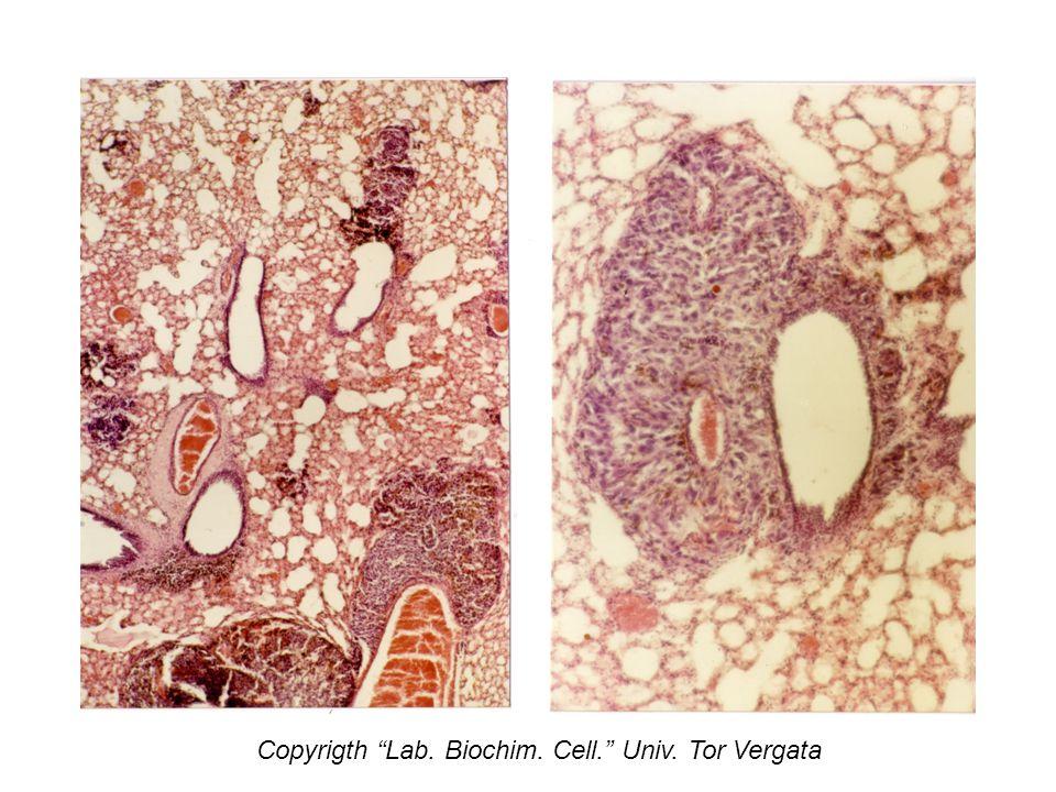 Copyrigth Lab. Biochim. Cell. Univ. Tor Vergata