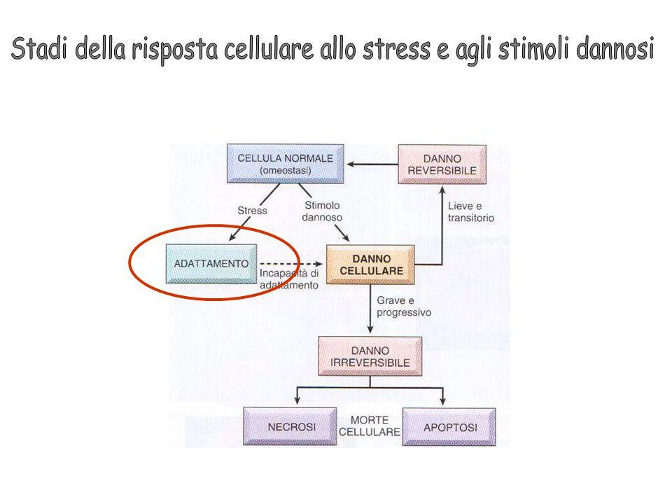 Stadi della risposta cellulare allo stress e agli stimoli dannosi