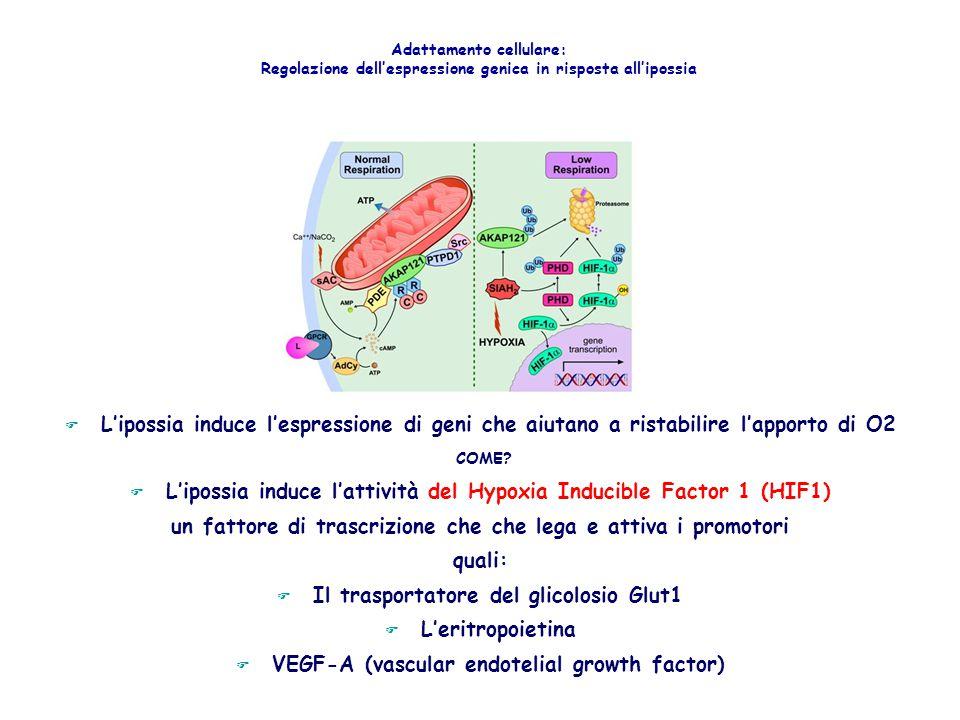 L'ipossia induce l'attività del Hypoxia Inducible Factor 1 (HIF1)