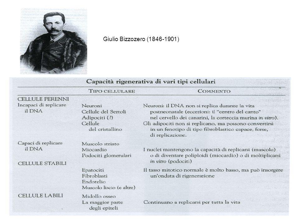 Giulio Bizzozero (1846-1901)