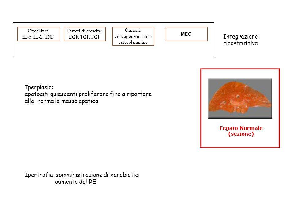 epatociti quiescenti proliferano fino a riportare